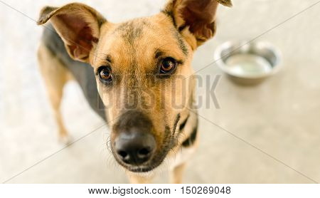 Hungry dog bowl is an adorable German Shepherd looking and waiting eagerly for his bowl to be filled with food.