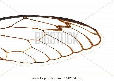 Cicada Wings Macro
