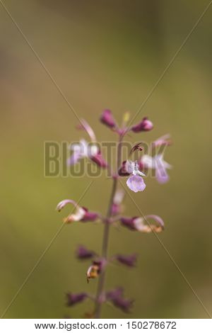 Macro : Purple inflorescence in open field in westen Thailand. The image is partially decayed from the photographer's intentions.