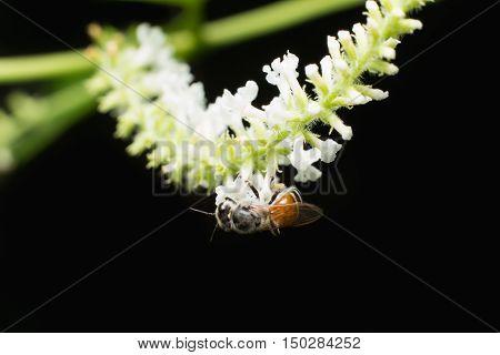 Bee On White Flower Of Buddleja Paniculata