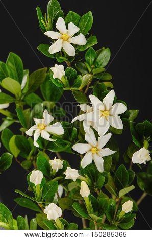 gardenia on black background