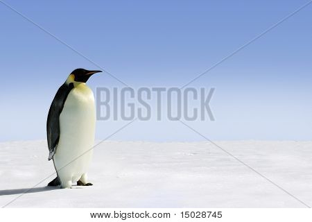 Emperor Penguin in Antarctica on a sunny day
