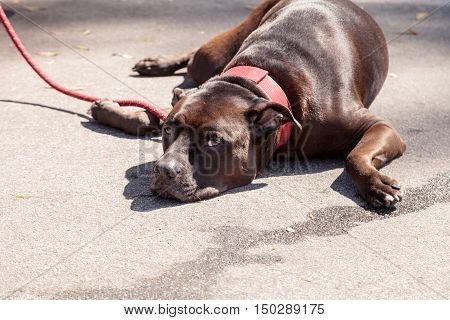 Chocolate brown pitbull dog mix relaxes on the ground at the end of a leash on a warm summer day.