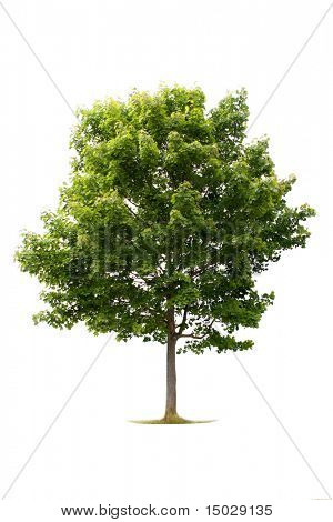Tree isolated against a white background (For more ISOLATED TREES please visit my portfolio)
