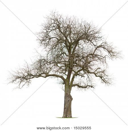 Isolated Apple tree in early spring/late winter