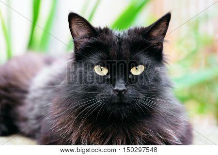 Beautiful Siberian black and brown cat closeup outdoors eye contact