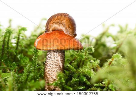 Mushroom among a moss with a slug on a hat. A mushroom with an orange hat an aspen mushroom the snail has let out horns and looks down. White background сlose up small depth of sharpness