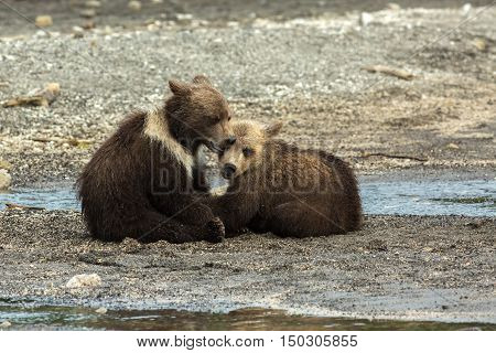 Funny brown bear cubs on the shore of Kurile Lake. Southern Kamchatka Wildlife Refuge in Russia.