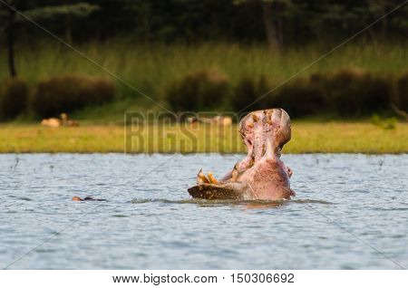 Hippo Mouth Wide Open