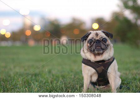 Pug In Grass Portrait