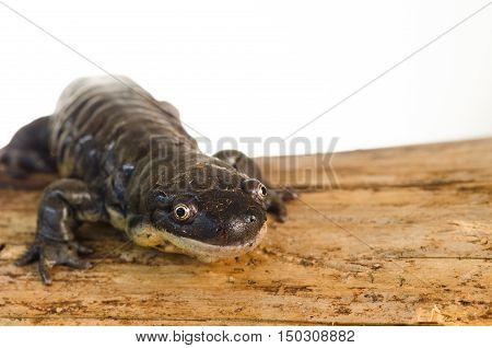 Captive Tiger Salamander (Ambystoma tigrinum) Portrait on log