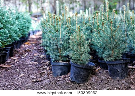 Pots with young conifer plants in greenhouse