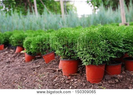 Pots with young thuja plants in greenhouse