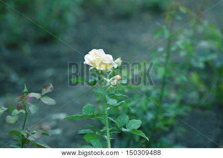 Beautiful yellow rose on blurred background