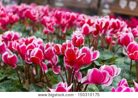 Close Up Of Colorful Variegated White And Pink Cyclamen Flowers