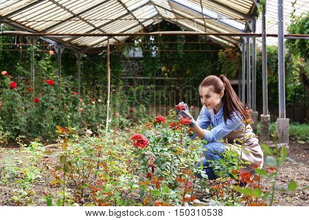 Pretty young gardener looking after roses in greenhouse