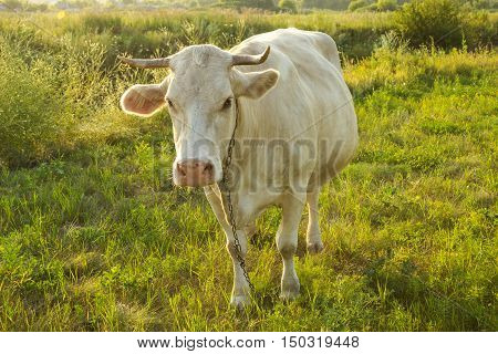 White cow at countryside, meadow in the background, top view.