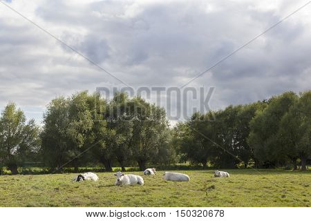 white cows in flanders meadow between gent and brugge in belgium on cloudy summer day
