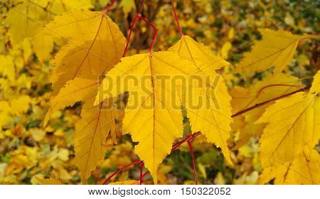 The branch of autumn tree with bright yellow foliage