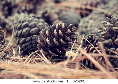 Pinecone From Pine Tree In Forest