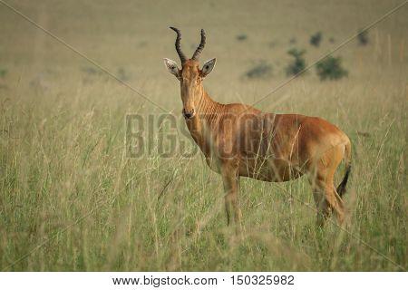 Closeup view of Hartebeest - Alcelaphus buselaphus, Kidepo national park, Uganda