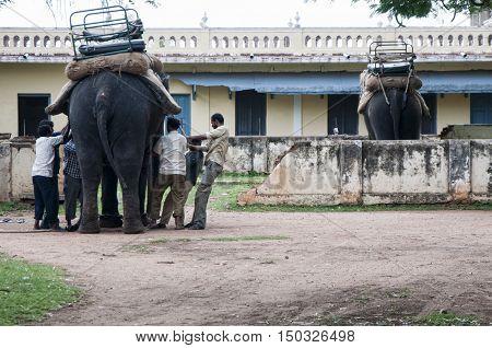 Preparando los elefantes para el trabajo en India