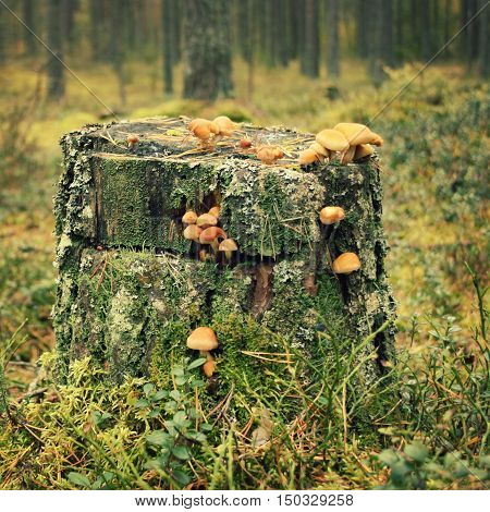 Stump With Moss And Honey Agaric Mushrooms. Autumn