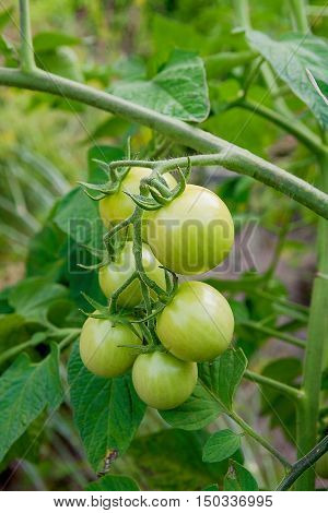 Branch Of Green Unripe Cherry Tomatoes Outdoors. Organic Cherry Tomatoes Cultivation In A Garden. .