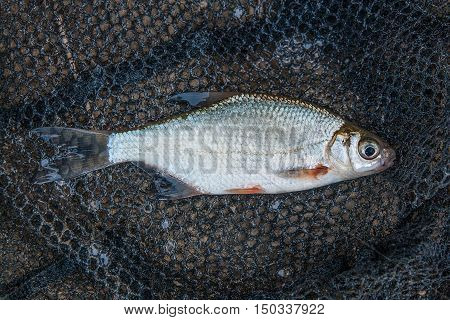 Several Ablet Or Bleak Fish, Roach And Bream Fish On The Natural Background.