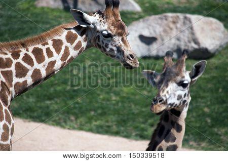 Dos jirafas africanas viviendo la vida salvaje