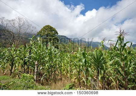 Green corn field in the highlands of western Honduras by the Santa Barbara National Park. Small village of coffee growers called San Luis De Planes