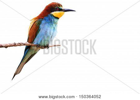 paradise bird sitting on a branch on a green background, colored bird, bright colors, green background, colorful feathers, Merops apiaster