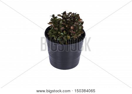 small Calico plant in the black flowerpot on white background