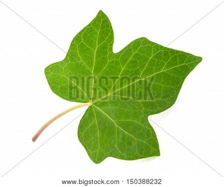 Ivy leaf isolated on a white background