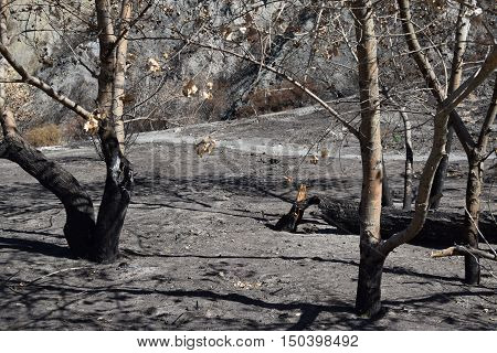 Charcoaled landscape with burnt trees caused from a wildfire taken in Cajon, CA
