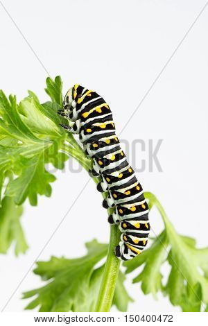 Resting black swallowtail larvae resting on fresh green parsley leaf on white background with copy space.