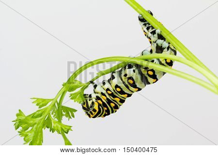 Black Swallowtail butterfly larvae grips stem with feet as hangs down to eat parsley leaves.