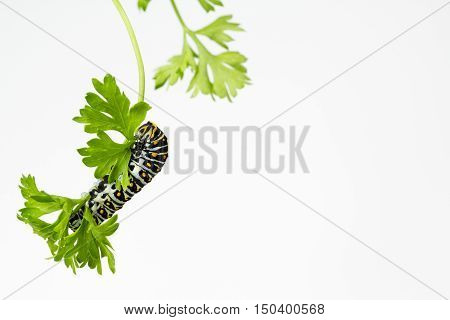 Black Swallowtail Butterfly larva eating fresh parsley leaf with copy space.