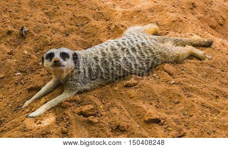 Lazy Meerkat lying in schadow and enjoying interacting with the camera. The clear message: not today, i am too lazy.