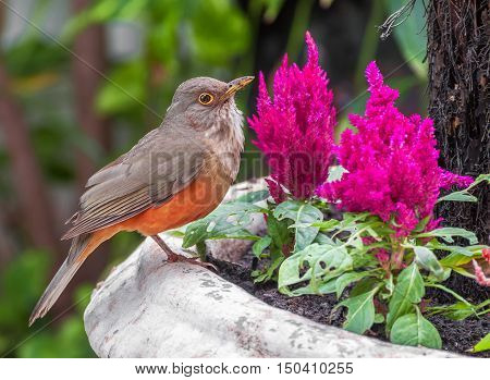 Rufous-bellied Thrush bird also kwon as Sabia Laranjeira in a vase with beautiful pink flowers