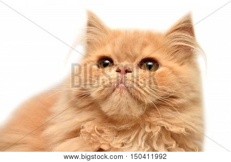 Beautiful red kitten isolated on white background. Persian cat.