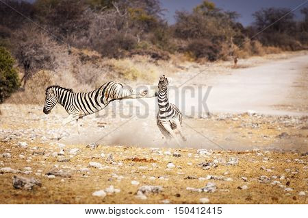 Two zebras fighting in the Etosha National Park in Namibia Africa