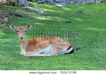 Fallow Deer in the wood - Italy