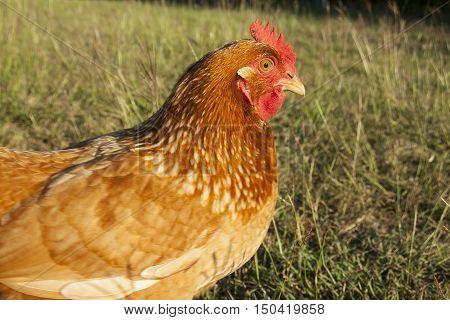 Free range chickens in a grassy field.