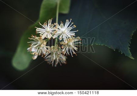 Small white linden blossoms with pistils and stamens and green leaves