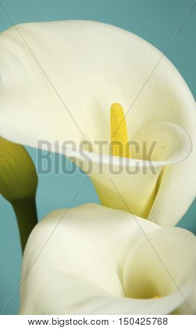 Close Up of Calla Lily Flowers Shot on a Teal Background in the Studio