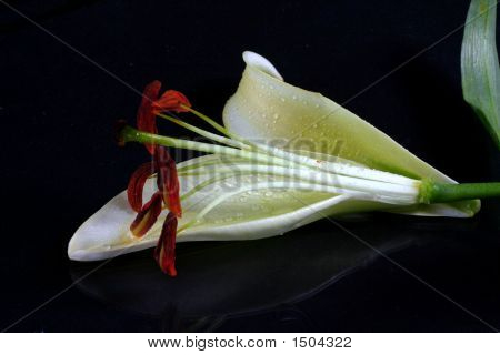 Beautiful White Lilly Flowers