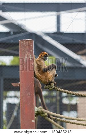 Spider Monkey (ateles Geoffroyi) Sit On A Rope.
