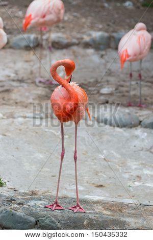 Caribbean Flamingos Or Caribbean Flamingos.