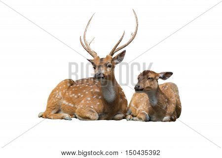 Sika Deer Family Sitting Isolated On White.